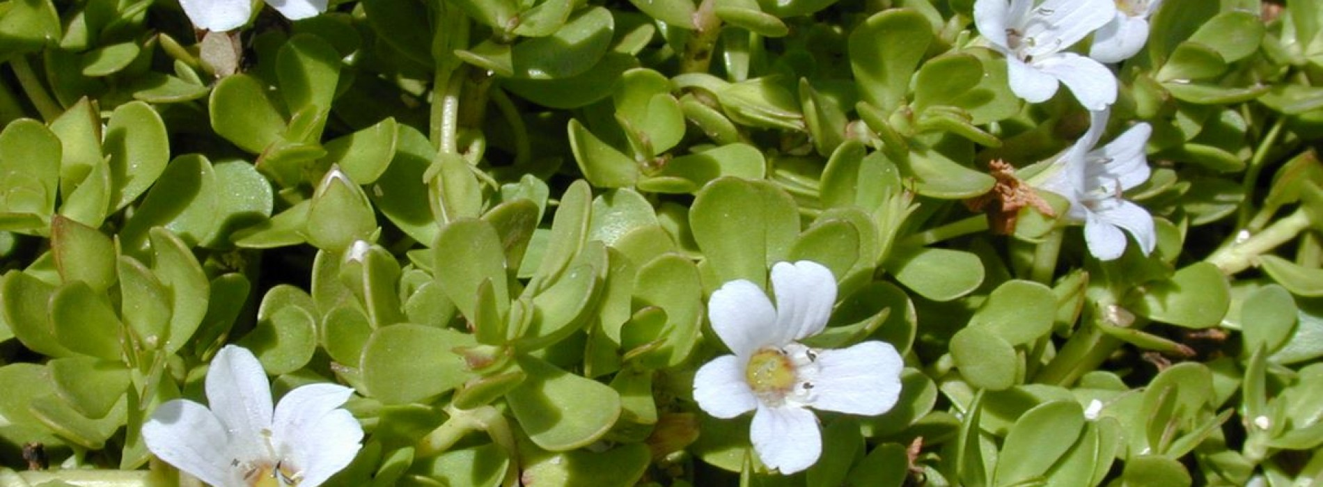 Ashwagandha plant – Miracle medication from the Indian Sub continent