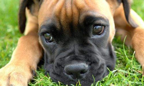 Best Dog Food For Boxers And Nutritional Values