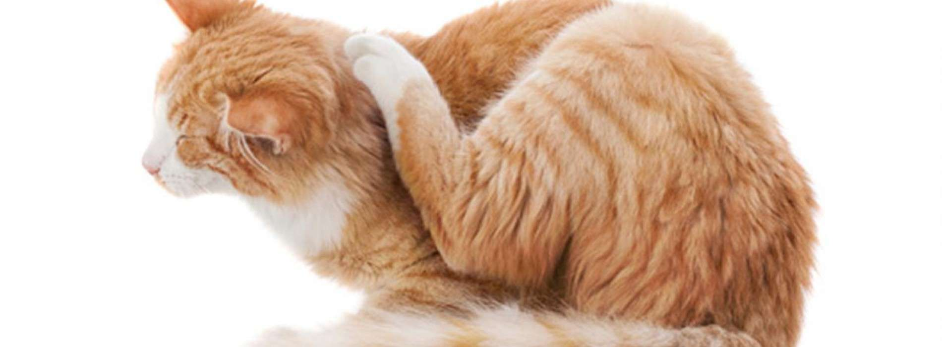 Choose The Right Flea Meds For Cats