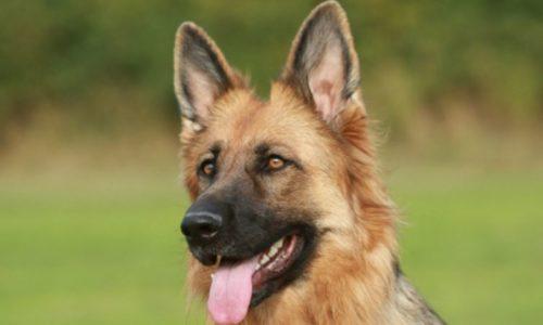 Reviews – The Best Dog Food For German Shepherd