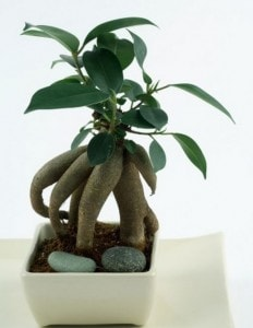 _Ficus Ginseng - All you need to know