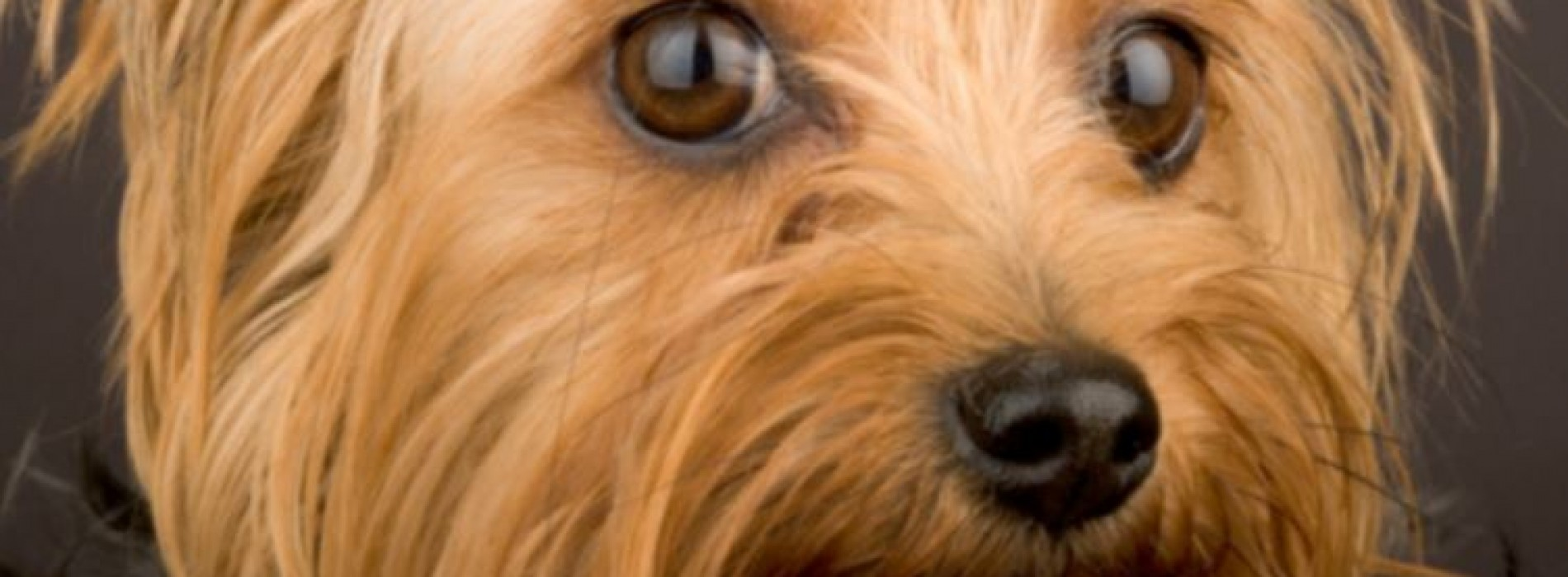 The Best Dog Food For Yorkies – Keeping Your Dog Healthy