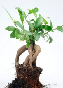 _The multiple ways to grow and harvest your ginseng