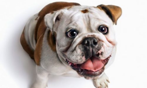 Reviews – Top 3 Best Dog Food For Bulldogs