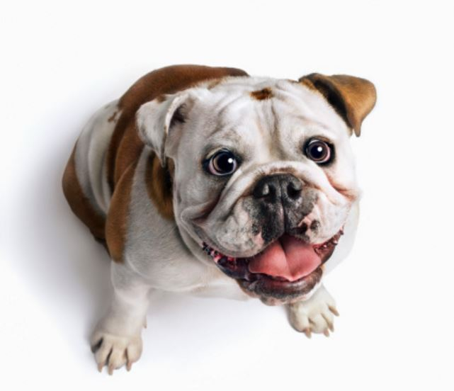 bulldog food reviews top 3 best dog food for bulldogs 2251