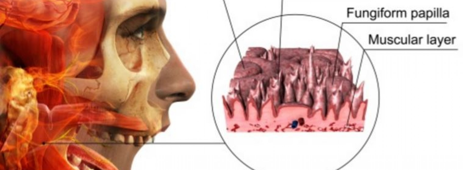 what is circumvallate papillae � a comprehensive guide