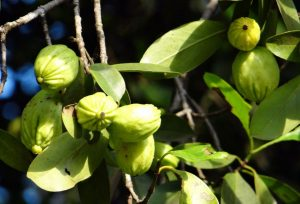 Garcinia cambogia is a natural supplement, which contains HydroxyCitric Acid