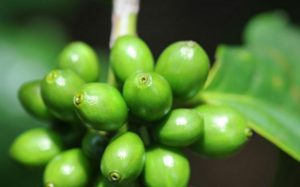 Green coffee bean extract help to lose weight but also reduce high blood pressure